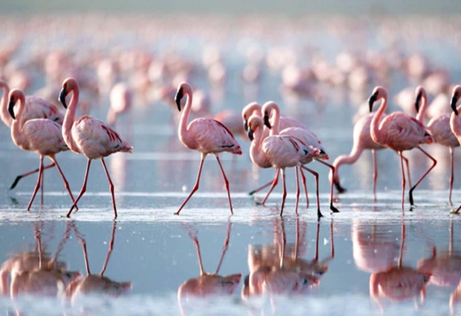 Flamingo_at_Lake_Nakuru_Kenya_50672635
