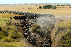 The Wildebeest Migration Maasai Mara