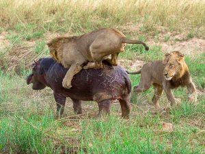Lion Kill 6