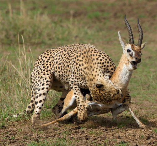 cheetah_kill_masai mara 2