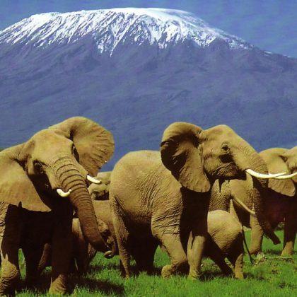Amboselielephants