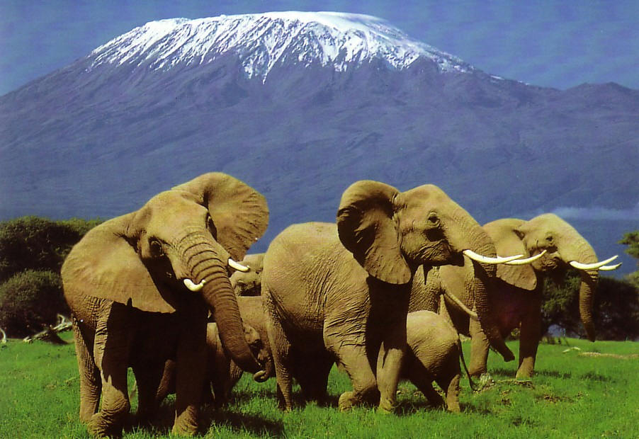 Amboselielephants