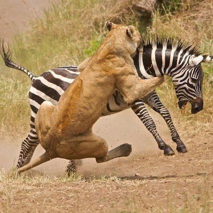 Lion attacking a Zebra